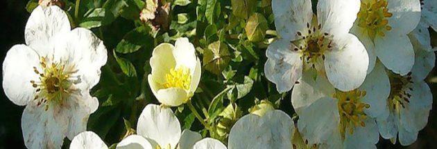 Цветы пятипала