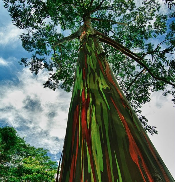 Дерево эвкалипт