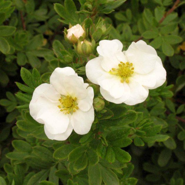 Два цветка альбы