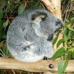Настойка эвкалипта: помогает сохранить здоровье не только пандам
