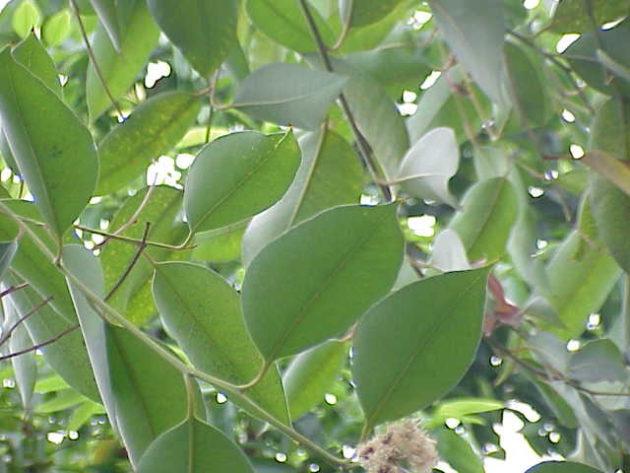 Листья эвкалипта шаровидного