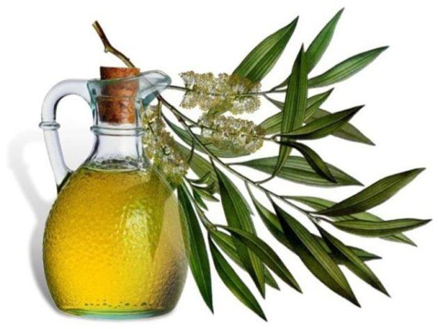 Масло эвкалипта и листья