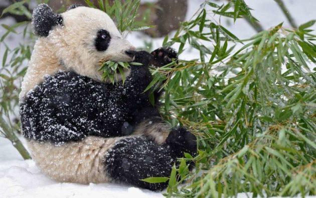 Панда ест эвкалипт