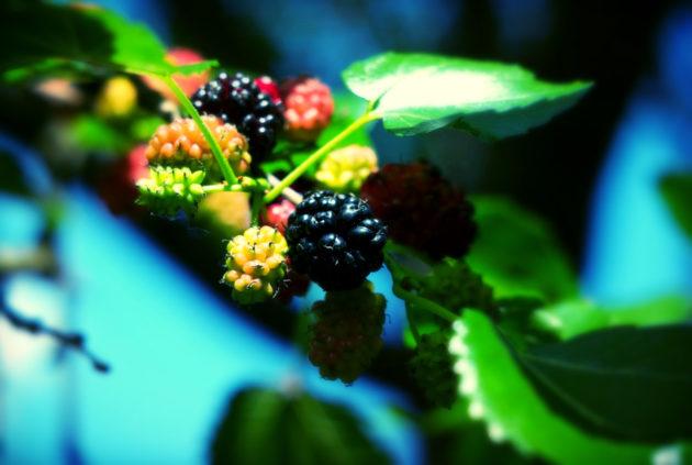 Тутовник ягода