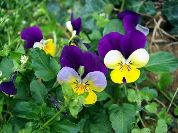 Фиалка — цветы