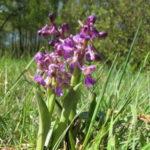 Фиалка пурпуровая