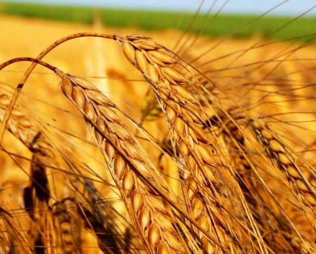 Колосящаяся пшеница