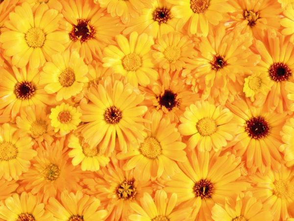 Много цветов календулы