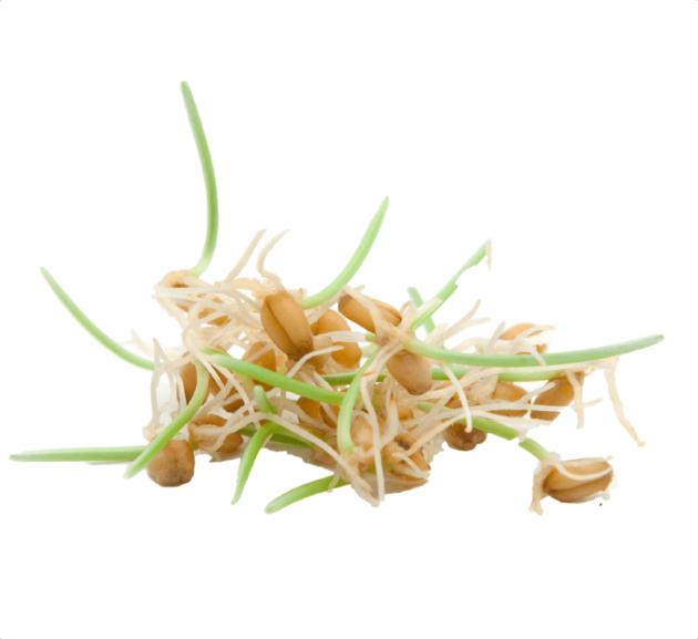 Ростки пшеничных зёрнышек