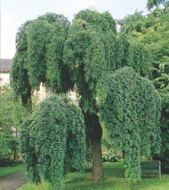 Дерево софора