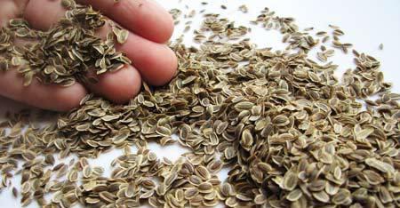 Семена укропа на ладони