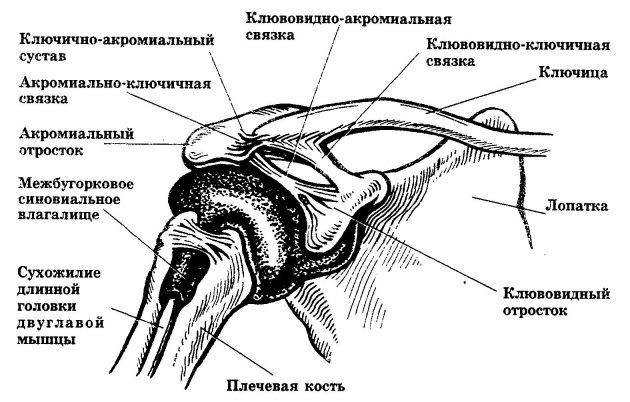 Акромиально-ключичный сустав (схема)