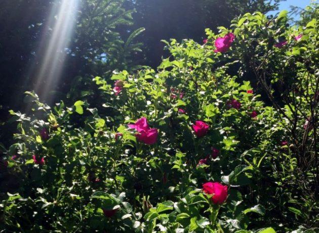 Куст шиповника в лучах солнца