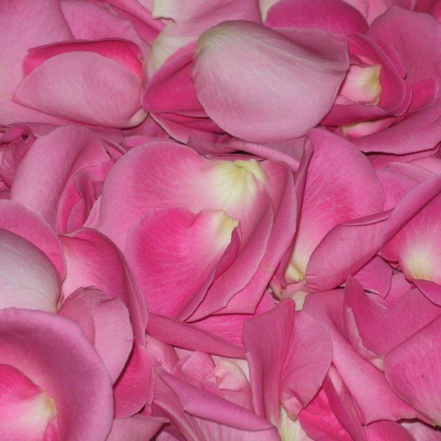 Лепестки дикой розы
