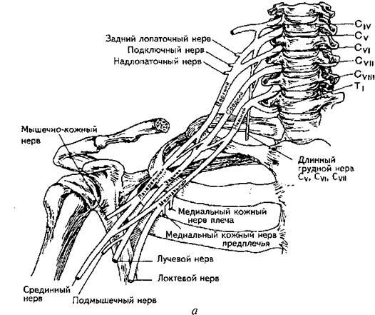 Нервы плечевого сплетения (схема)