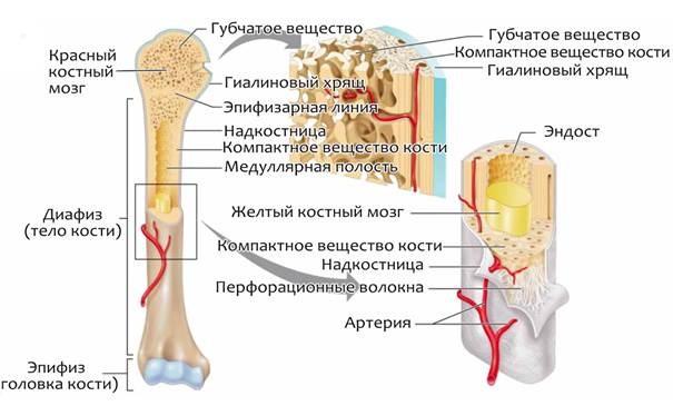 Строение костного мозга (схема)
