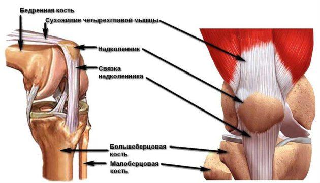 Строение сухожилия четырёхглавой мышцы бедра