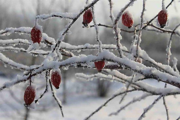 Ягоды на зимнем кусте шиповника